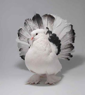 Gambar burung merpati ekor kipas