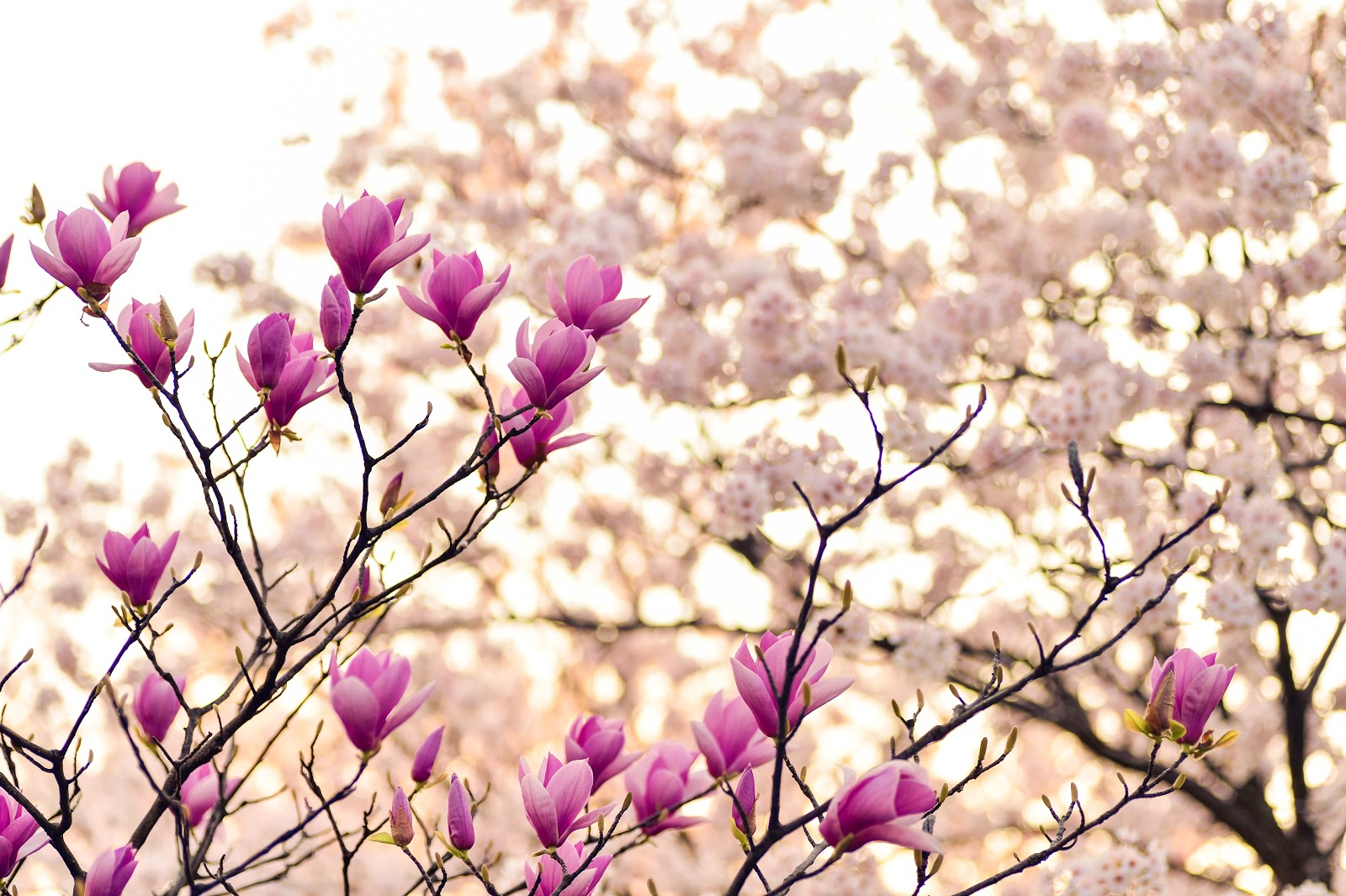 magnolia, flower photo