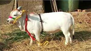 गायों की दुर्लभ नस्ल (Gaayo ki Durlabh Nasl)