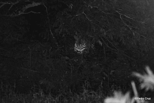Focagem Noturna de Animais Silvestres Pantanal