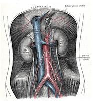Aorta Abdominalis