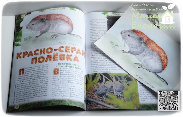 биологический-рисунок-магия-биологии-акварель-красно-серая-полевка