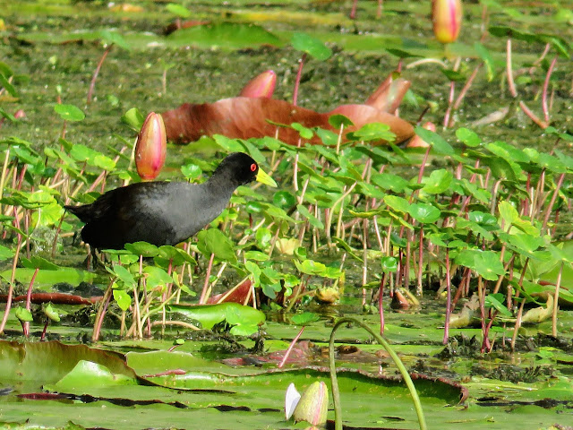 Black Crake near Lake Mutanda in Uganda