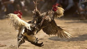 Polsek dan Koramil Malangbong Grebek Sambung Ayam Yang Diduga Ada Unsur Judi