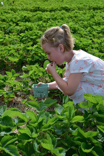 Strawberry picking, picking strawberries, field trips for kids, field trip ideas