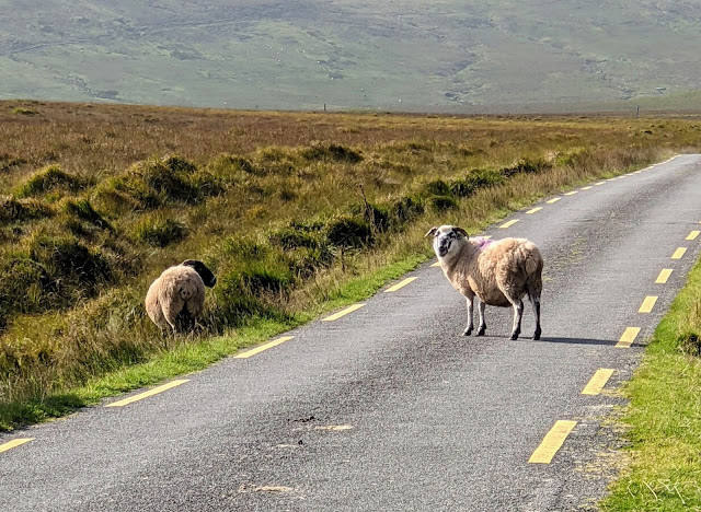 Sheep in the road on Ballaghasheen Pass in County Kerry Ireland
