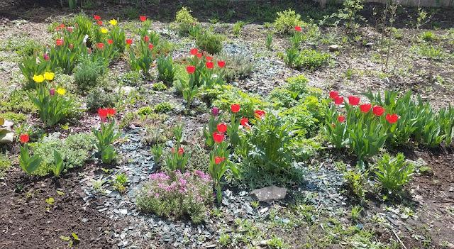 тюльпаны цветут