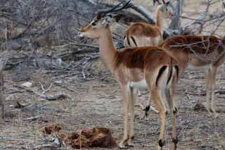 Impala Balule Nature Reserve