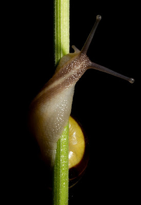 Snail shells offer clue in unravelling common origins of body asymmetry