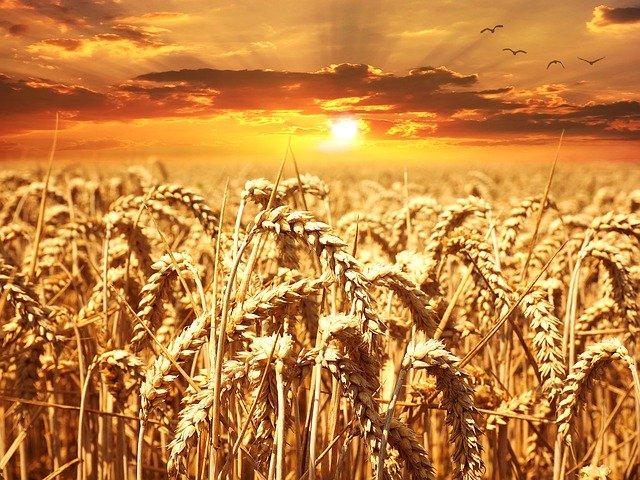 Las preocupaciones por enfermedades requieren una limpieza a fondo de la semilla de Trigo