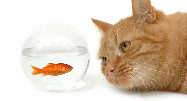 huile-de-saumon-chat