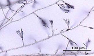 Morfologi, Reproduksi dan Pertumbuhan Jamur