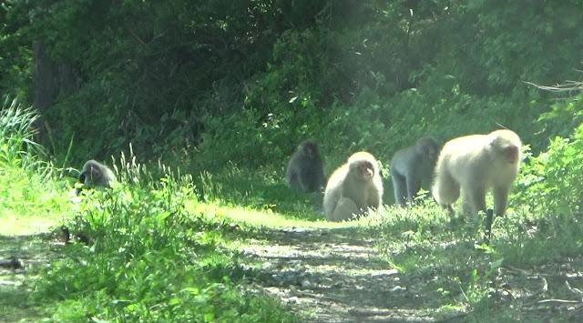 猿の追払い実験報告