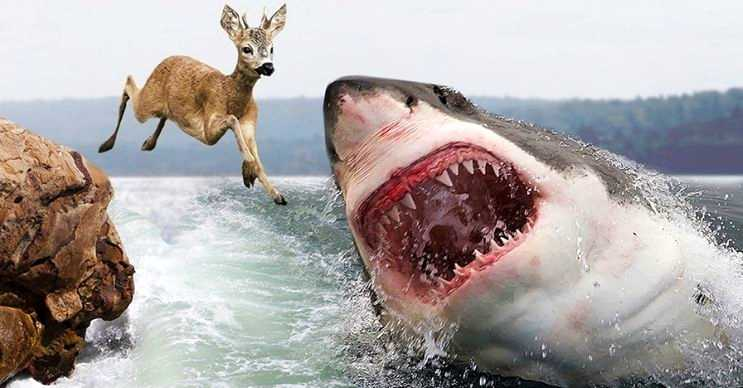 Kaplan köpek balığı, kara hayvanlarıyla beslenen en büyük deniz canlılarından biridir.