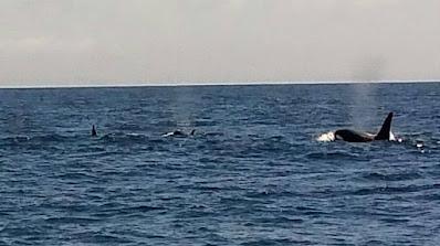 Orcas vor Teneriffa auf der Jagd