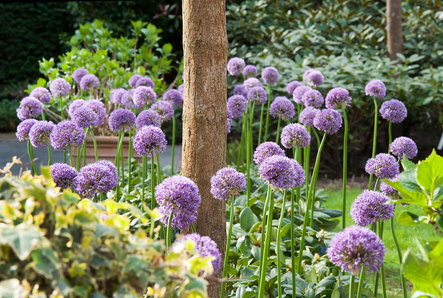Flores grandes de cebolla ornamental de color violeta