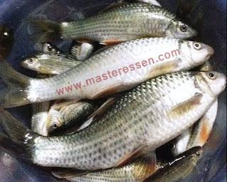 Essen Ikan Nilem Induk Galatama
