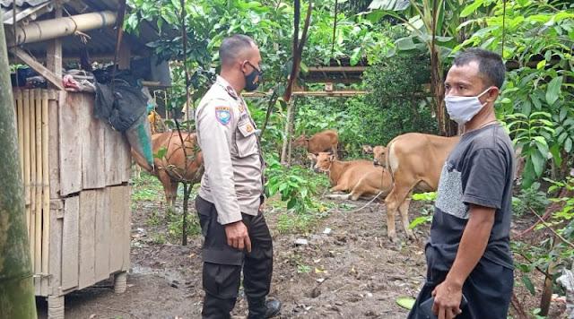 Hati-Hati, Maling Makin Marak! 9 Ekor Sapi di Sekotong Raib Dalam Semalam