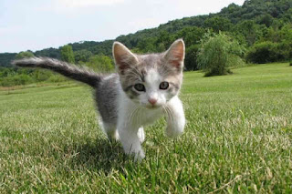 Salah satu hewan yang paling umum dan banyak dijadikan hewan peliharaan adalah kucing Contoh Report Text about Cat dan Arti Terjemahannya