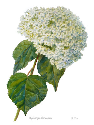 Botanical painting of Hydrangea aborescens