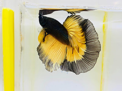 Black Yellow Halfmoon