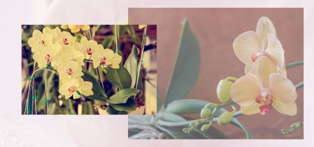Phalaenopsis Care and Re-bloom for long time
