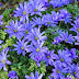 Tips for Successfully Growing Anemone Blanda