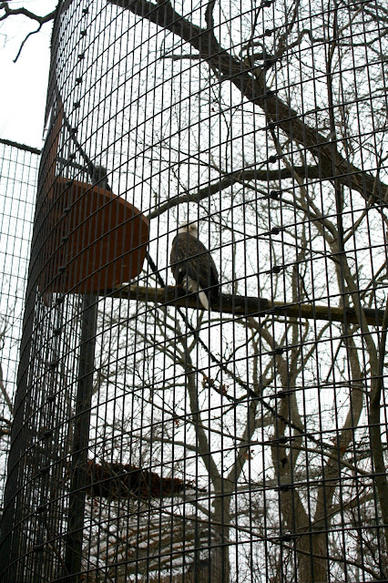 Majestic bald eagle rehabilitated at Willowbrook Nature Center.