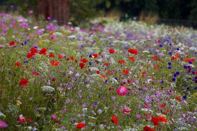 Praderas de plantas anuales y vivaces en Trentham Gardens. Nigel Dunnet