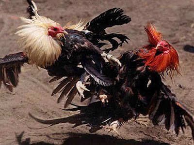 Ayam Aduan Filipina