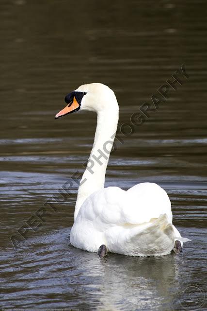 Mute swan swimming.