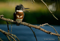 Belted Kingfisher juvenile female  Aug. 5, 2017, © Matt Beardsley