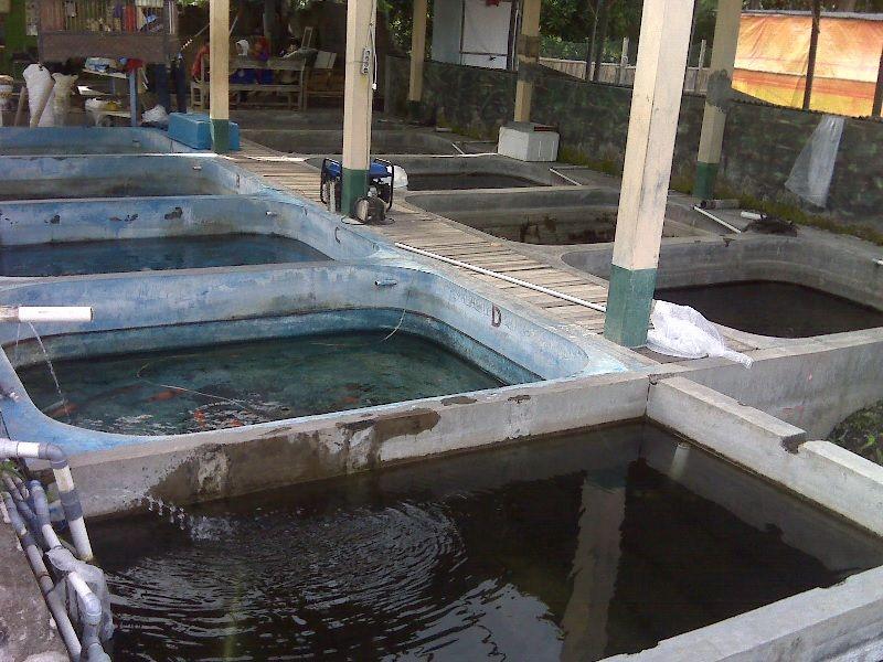 Cara Budidaya Ikan Koki Dengan Kolam