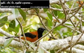ஹீட் பிட்டோஹீய் பறவை - Hooded pitohui bird.