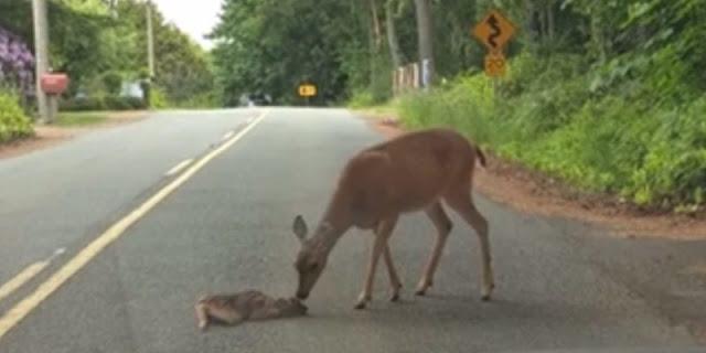 Чтобы спасти детеныша, застрявшего посреди дороги, олениха вышла на проезжую часть, дрожа от страха