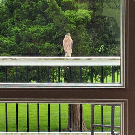 image of a hawk sitting on my deck railing