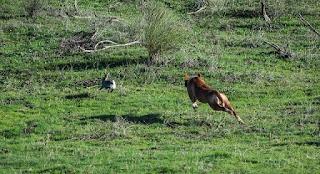 Caza conejo con perro