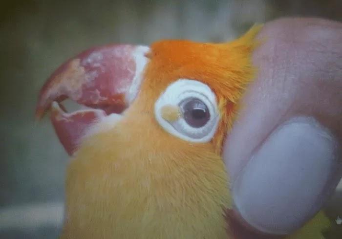 Lovebird Sakit Mata Ketahui Tanda Penyakit Patek Yang Menciptakan Resahhh