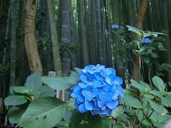 竹の庭とアジサイ
