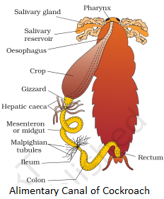 Alimentary Canal of Cockroach