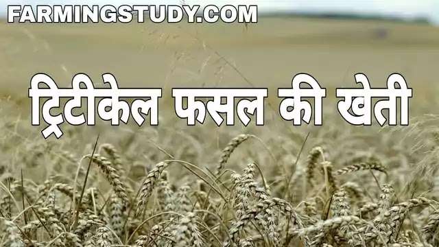 विश्व की प्रथम मानव निर्मित फसल ट्रिटीकेल है, ट्रिटीकेल क्या है अर्थ एवं परिभाषा, triticale meaning in hindi, ट्रिटीकेल फसल की खेती की खेती कैसे करें, triticale in hindi