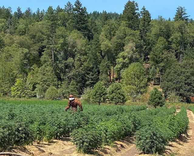 Sasquatch in a marijuana field