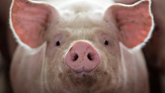 Meski Haram, Ternyata Babi Sering Dimanfaatkan Manusia Untuk Hal Ini