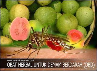 Obat herbal alami untuk Demam berdarah (DBD) - Jambu biji (Psidium guajava)