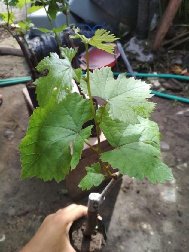 Bibit anggur impor ninel super genjah dan bisa bayar di tempat Sumatra Barat