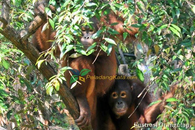 Habitat Orangutan
