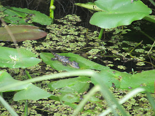 A little baby alligator on a leaf out in the everglades at Shark Valley