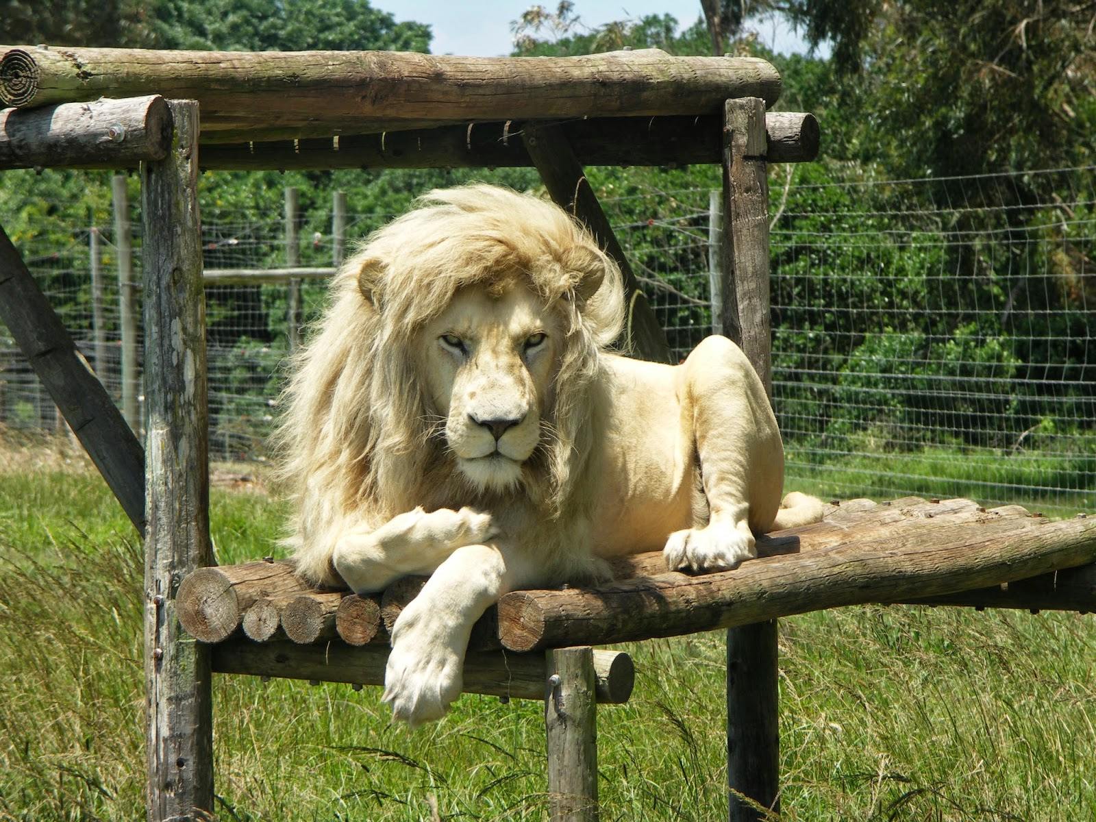 Lovable Images White Lion Hd Wallpaper Free Download