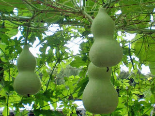 bottle gourd fruit images