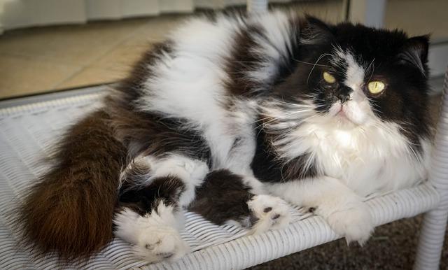 Kucing Mix Dome Himalaya